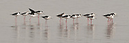 Black-winged stilts search for food in the shallow water of a lake in Serengeti.<br />