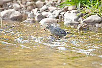 The American Dipper is in the river with another underwater catch.