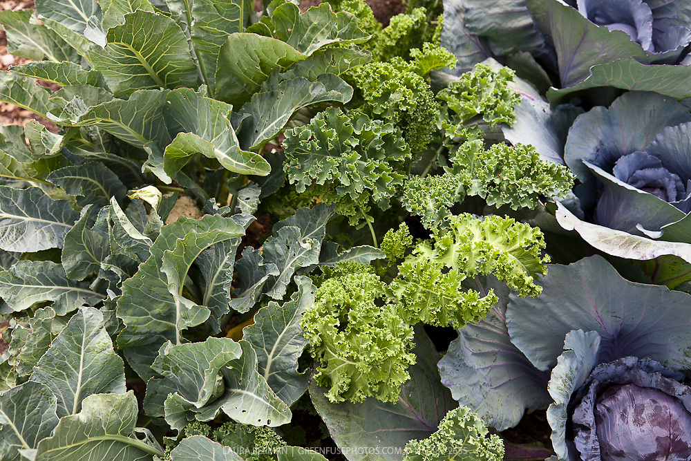 Cauliflower, kale and purple cabbage growing in a kitchen garden.
