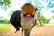 Close up portrait of an ostrich mouth open about to bite the camera. Wide angle lens, front of beak blurred.<br /> <br /> Commonly called the Southern Ostrich because it is found exclusively in Southern Africa.  Lives in a range independent of all other supspecies of ostrich. Ostrich are the largest living bird species on the Earth.