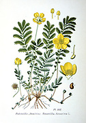 Common Silverweed (Argentina anserina or Potentilla anserina) Ceeping herbaceous  plant of temperate regions of the Northern Hemisphere. From Amedee Masclef 'Atlas des Plantes de France', Paris, 1893.