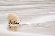 CANADA, Churchill (Hudson Bay).Polar bear (Ursus maritimus) cub
