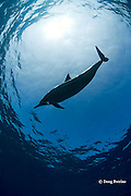Hawaiian spinner dolphin or Gray's spinner dolphin or long-snouted spinner dolphin, Stenella longirostris longirostris, Kaupulehu, Kona Coast, Big Island, Hawaii ( Central Pacific Ocean )