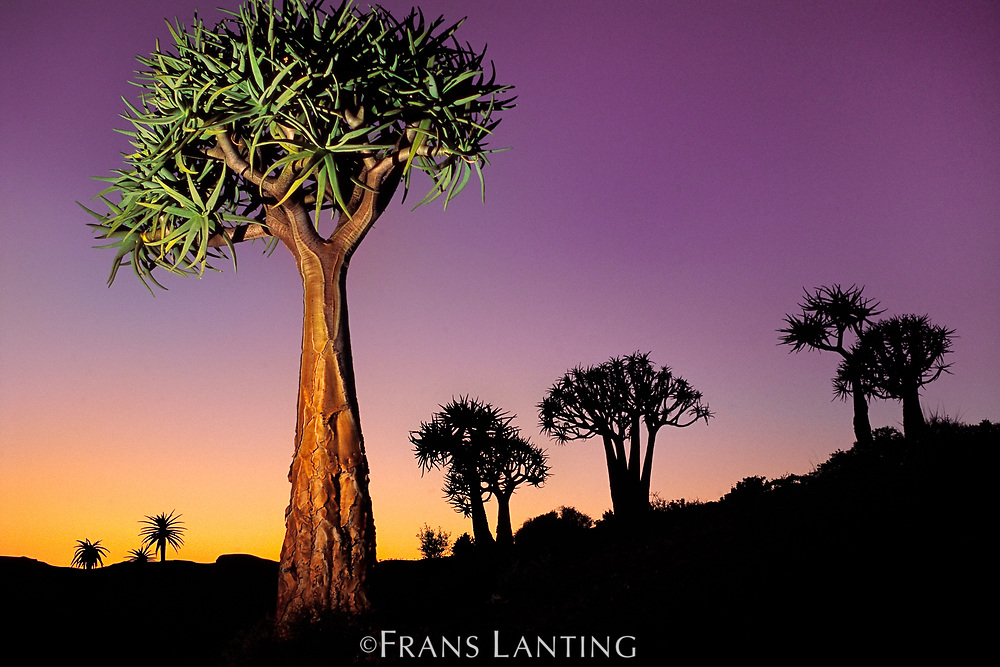 Quiver trees at dusk, Nieuwoudtville, South Africa
