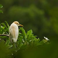 Cattle Egret (Bubulcus ibis) in breeding plumage, Diyasaru Park, Colombo, Sri Lanka