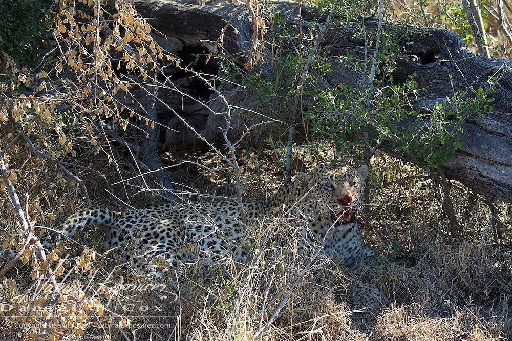 Leopard, the large male takes refuge in the shade of a downed tree. Timbavati Game Reserve, South Africa.