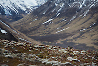 A willow ptarmigan rests on the tundra of a slope leading to Solstice Peak in the Valley of Ten Thousand Smokes in Katmai National Park, Alaska.