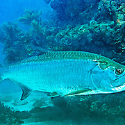 Tarpon inhabit open areas around reefs in Tropical West Atlantic; picture taken Key Largo, FL.