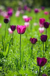 Tulips grown in grass around the crab apple ride at Manor Farm. Tulips include Tulipa 'Atilla', 'Bleu Aimable', 'Gabriella', 'Negritta', 'Queen of Night' and 'Recreado'