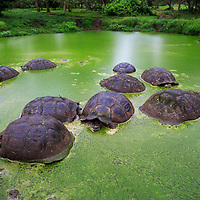 Galapagos tortoises cooling off in an algae filled pool, Galapagos, Ecuador, 2015