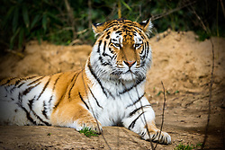 01.04.2016, Zoo, Duisburg, GER, Tiere im Zoo, im Bild sibirischer Tiger liegt // during visit to the Zoo. Duisburg, Germany on 2016/04/01. EXPA Pictures © 2016, PhotoCredit: EXPA/ Eibner-Pressefoto/ Hommes<br /> <br /> *****ATTENTION - OUT of GER*****