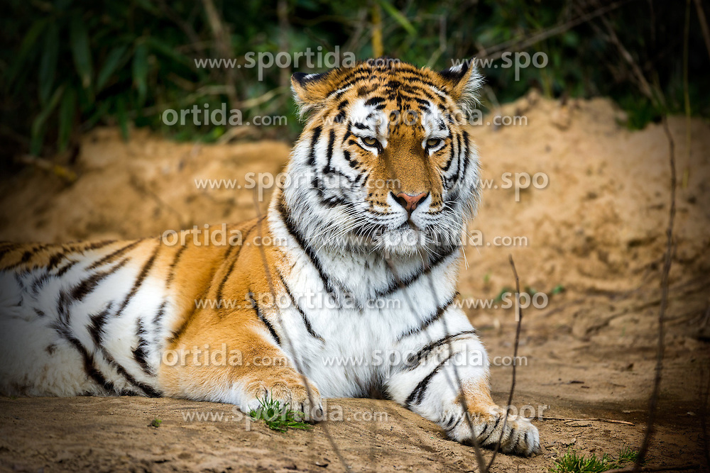 01.04.2016, Zoo, Duisburg, GER, Tiere im Zoo, im Bild sibirischer Tiger liegt // during visit to the Zoo. Duisburg, Germany on 2016/04/01. EXPA Pictures &copy; 2016, PhotoCredit: EXPA/ Eibner-Pressefoto/ Hommes<br /> <br /> *****ATTENTION - OUT of GER*****