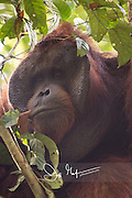 Portrait of an adult male Bornean orangutan, Pongo pygmaeus in the forest in Tanjung Puting National Park on the island of Borneo, Indonesia.