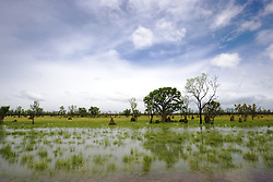 A lone boab in a watery paddock near Willare in the Kimberley wet season.