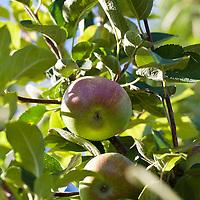 Macintosh apples on a tree