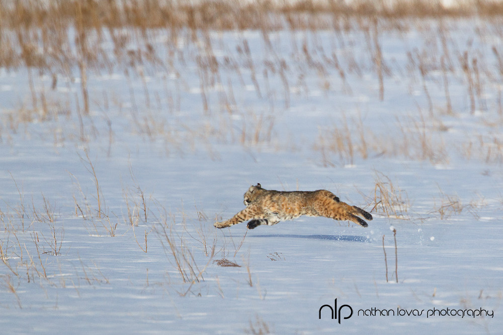 Bobcat leaping in snow;  South Dakota, in wild.