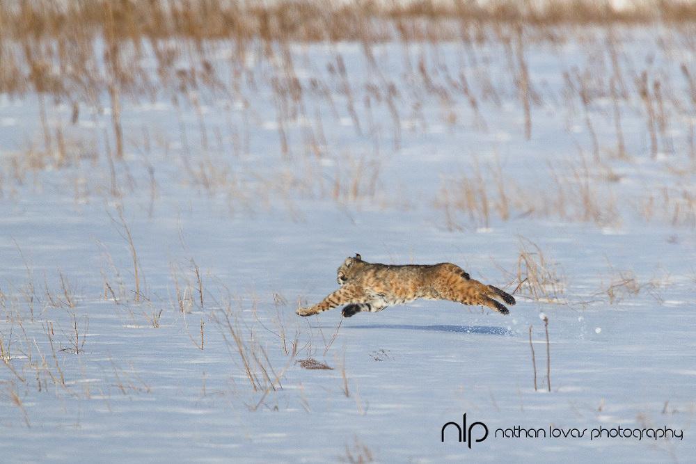 Bobcat leaping in snow;  South Dakota, in wild.
