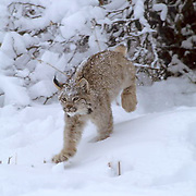 Canada Lynx, (Lynx canadensis) Montana. Sub adult running in snow.Winter. Captive Animal.