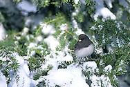 01569-00703 Dark-eyed Junco (Junco hyemalis) in winter, Marion Co.   IL
