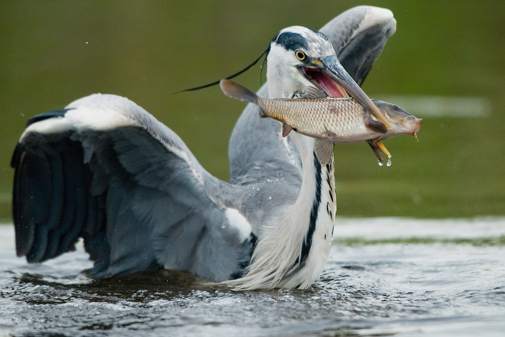 Grey Heron catching a fish (Ardea Cinerea), Fisher pond, Prypiat area, Belarus