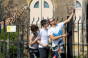 UNITED KINGDOM, London: 09 April 2020 <br /> Members of public take a picture of themselves with a giraffe in the background through the closed barriers of London Zoo this afternoon. The zoo was closed with immediate effect on March 20th due to risks of the coronavirus pandemic.