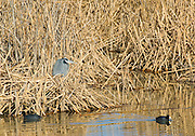 A great Blue Heron stands in cattails as two American Coots swim by, Bosque del Apache National Wildlife Refuge, New Mexico