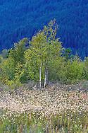 Chamisso's Cotton Grass (Eriophorum chamissonis) and Birch Trees (Betula papyrifera) growing at Pitt-Addington Marsh Wildlife Management Area in Pitt Meadows, British Columbia, Canada
