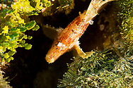 Paper Scorpionfish, Taenianotus triacanthus, Lacepède, 1802, Maldives
