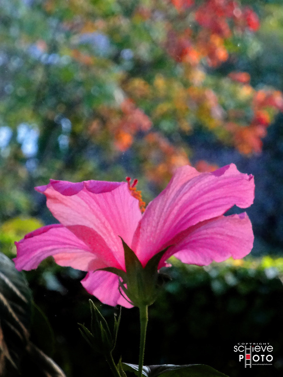 Hibiscus flower with colorful trees in the background.