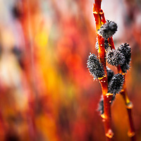 Black Pussy Willow flowwers against  fiery red background of their red stems. (Salix gracilistyla 'Melanostachys')