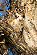 Great Horned Owl (bubo virgianus), Boulder County, Colorado