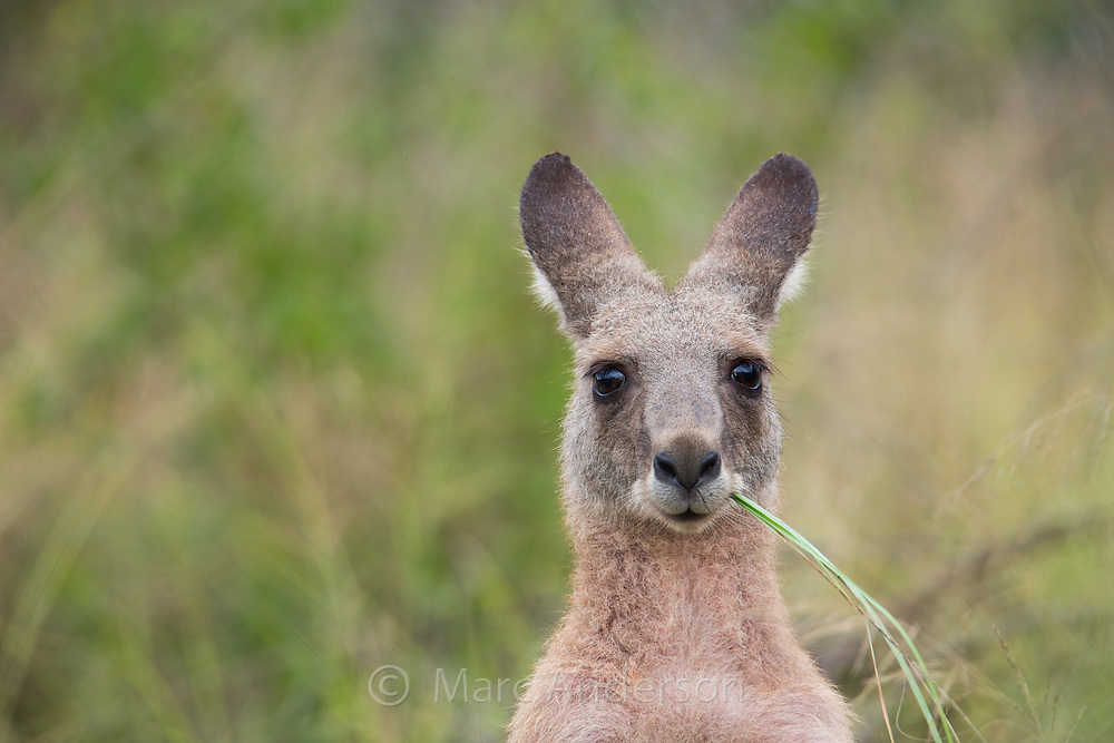 Eastern Grey Kangaroo, Macropus giganteus, Wollemi National Park, NSW, Australia