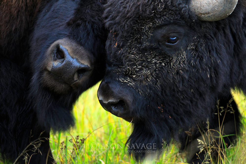 A couple young Bison play during Yellowstone's Fall season.