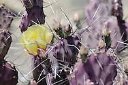 long spine prickly pear&amp;#xA;&copy; KIKE CALVO<br />