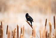 I got a picture of this Red-Winged Blackbird at the Rocky Mountain Arsenal while he rested on a cattail.<br />