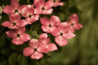 Pink dogwood blossoms in full bloom.