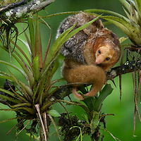 Smallest of all the anteaters, the Silky Anteater (Cyclopes didactylus) is seldom seen because it spends much of its life high in the rainforest canopy, often curled up as an indistinguishable ball of fluff. They have no teeth and can only defend themselves by means of their razor sharp sickle-like fore-claws, which are usually used for tearing open ant nests. Females bear a single youngster at a time, which is carried on their back until large enough to feed on its own. Canandé Reserve, Ecuador.