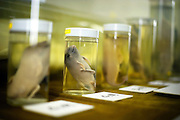 Preserved specimen of dolphin at various stages of early development are displayed at the whaling museum in Taiji, Japan on 10 September  2009. The museum grounds are also home to a dolphinarium where shows featuring dolphins spared from slaughter in a neighboring cove can be seen. .Photographer: Robert Gilhooly