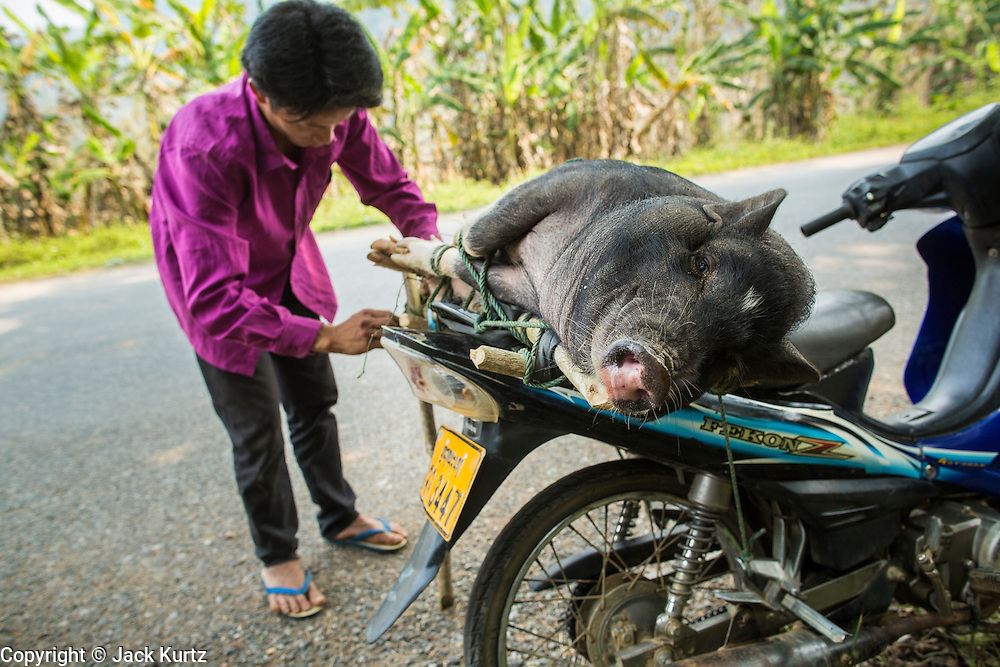 15 MARCH 2013 - BAN DAN NGUYEN: A man ties a pig to his motorcycle in the village of Ban Dan Nguyen. He was taking the market to sell it but stopped in the village to visit with friends.   PHOTO BY JACK KURTZ