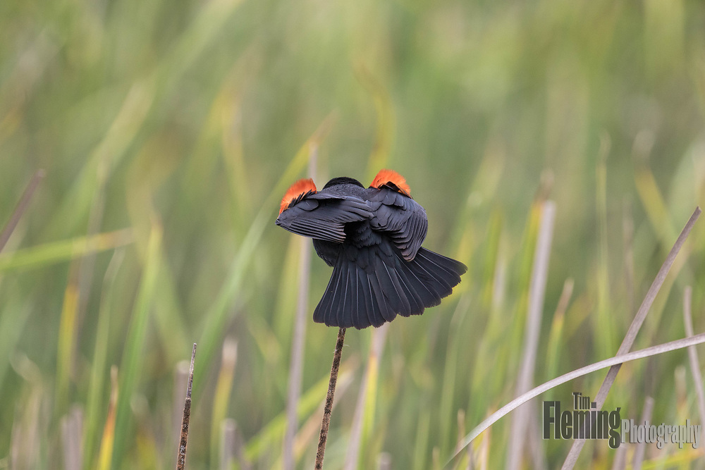 Red-winged blackbird in territorial display, Shollenberger Park, Petaluma, California