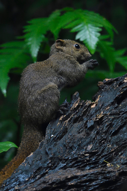 Pallas's squirrel, Callosciurus erythraeus, at  Tongbiguan nature reserve, Dehong Prefecture, Yunnan Province, China