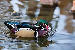 A Wood Duck Wades Through The Water In This Colorful, Calm Scene.