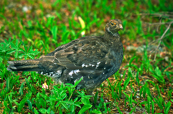 Blue Grouse, (Dendragapus obscurus), female.  Brownish overall with gray and white mottled breast.  Olympic National Park, Washington, USA