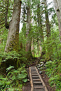 Wood steps ascend old growth forest on Lake 22 trail, near Verlot on the Mountain Loop Highway, Snohomish County, Washington, USA.