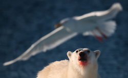 Polar bear (Ursus maritimus) looking at a Glaucous Gull (Larus hyperboreus) in flight, Spitsbergen, Svalbard