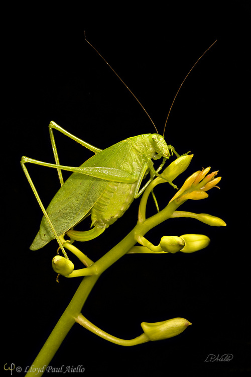 "This Fork-Tailed Bush Katydid (Scudderia furcate) is perched atop the budding flower stalk of a Dendrobium orchid. Primarily nocturnal in habit, it has become expert at camouflage by mimicking the shape and colors of the leaves upon which it feeds.  Insects in this family (Tettigoniidae) are commonly called katydids or bush crickets and more than 6,400 species are known. The Fork-Tailed Bush Katydid, is native to the United States and widespread in the eastern and southeastern regions.  Adults are 14 - 75mm (0.55 - 2.95 inches) in length and have excellent eyesight.  Katydids have much longer antennae than grasshoppers, averaging 39mm (1.53 inches) and they only produce one generation annually since the eggs require a rest period.  The males have sound-producing organs located on the hind angles of their front wings. The males use this sound for courtship, which occurs late in the summer. The sound is produced by rubbing two parts of their bodies together, a process called stridulation. The males call 24-hours a day using 2-3 chirps followed by various periods of silence while waiting for a female to respond.  The insect gets its name from the sound of the male's call: ""Katy-did"". The tempo of the calls is governed by ambient temperature.  For American katydids, the number of chirps in 15 seconds plus 37 will be close to the outside temperature in degrees Fahrenheit."