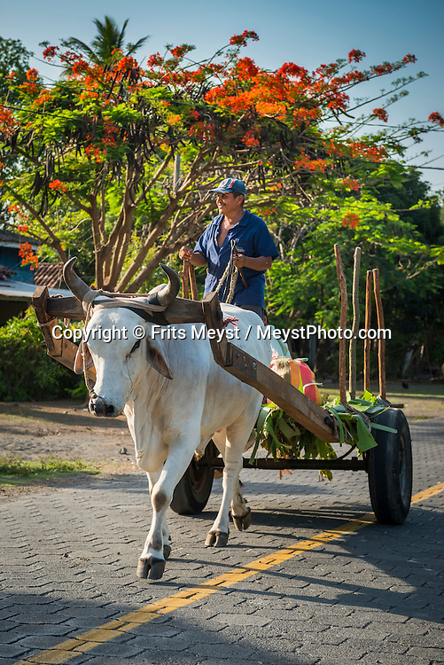 Isla Ometepe, Nicaragua, May 2014. a farmer rides his an ox cart on the street. Ometepe, an island composed of two volcanoes in Lake Nicaragua. Over the northern half of Ometepe looms the Concepción, perfectly cone-shaped active volcanoe, while the southern half is dominated by the extinct volcano Maderas. Central America's largest and least populated country consists of lakes; volcanoes and Spanish colonial cities. Photo by Frits Meyst / MeystPhoto.com