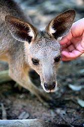 AUSTRALIA QUEENSLAND BILLABONG 23FEB08 - Native Australian Wallabee at the Billabong Sanctuary...jre/Photo by Jiri Rezac..© Jiri Rezac 2008..Contact: +44 (0) 7050 110 417.Mobile:  +44 (0) 7801 337 683.Office:  +44 (0) 20 8968 9635..Email:   jiri@jirirezac.com..Web:    www.jirirezac.com..© All images Jiri Rezac 2008 - All rights reserved.