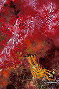 nudibranch or sea slug, Tambja affinis ( Polyceridae ), feeding on bryozoan, Similan Islands, Thailand ( Andaman Sea - Indian Ocean )