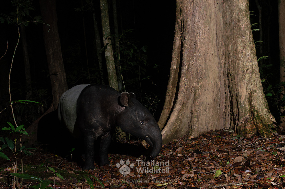 The Malayan tapir (Tapirus indicus), also called the Asian tapir, Asiatic tapir, Oriental tapir, Indian tapir, or piebald tapir, is the largest of the four widely-recognized species of tapir and the only one native to Asia
